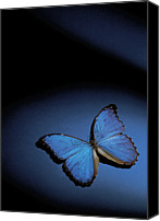 Copy Space Canvas Prints - Close-up Of A Blue Butterfly Canvas Print by Stockbyte