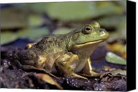 Bullfrogs Canvas Prints - Close-up Of A Bullfrog Canvas Print by Natural Selection Bill Byrne