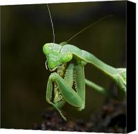 Predatory Canvas Prints - Close Up Of A Praying Mantis Canvas Print by Jack Goldfarb