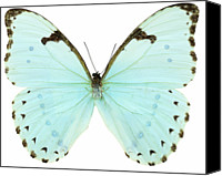 Cut Out Canvas Prints - Close-up Of A White Butterfly Canvas Print by Stockbyte