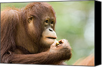Anthropomorphism Canvas Prints - Close-up Of An Orangutan Pongo Pygmaeus Canvas Print by Tim Laman