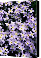 Bluet Canvas Prints - Close-up Of Bluet Flowers Houstonia Canvas Print by Bates Littlehales