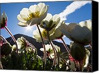 Avens Canvas Prints - Close Up Of Mountain Avens Canvas Print by Ralph Lee Hopkins