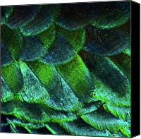 Animals In The Wild Canvas Prints - Close Up Of Peacock Feathers Canvas Print by MadmàT