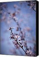 Pink Flower Branch Canvas Prints - Close Up Of Pink Cherry Blossoms On Tree Canvas Print by Ron Bambridge