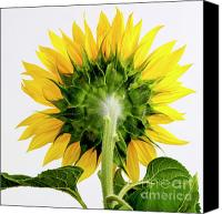 Sunflowers Canvas Prints - Close up of sunflower. Canvas Print by Bernard Jaubert