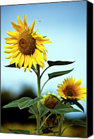 Growth Photo Canvas Prints - Close Up Of Sunflowers Canvas Print by Philippe Doucet
