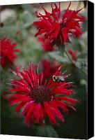 Bumblebees Canvas Prints - Close View Of A Bee Resting On A Red Canvas Print by Sam Abell