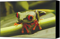 Red-eyed Frogs Canvas Prints - Close view of a red-eyed Canvas Print by Steve Winter