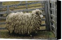 Fuego Canvas Prints - Close View Of A Sheep Covered In Wool Canvas Print by James L. Stanfield