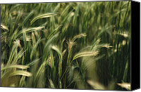 Foxtail Canvas Prints - Close View Of Foxtail Barley Grass Canvas Print by Annie Griffiths