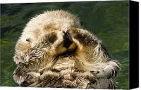 Anthropomorphism Canvas Prints - Closeup Of A Captive Sea Otter Covering Canvas Print by Tim Laman