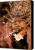 Lionfish Canvas Prints - Closeup Of A Lionfish Canvas Print by Tim Laman