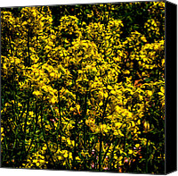 Rapeseed Canvas Prints - Closeup of Canola Canvas Print by David Patterson