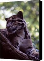 Leopards Canvas Prints - Clouded Leopard  Canvas Print by Jan Amiss Photography