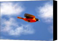 Oriole Canvas Prints - Clouded Oriole Canvas Print by Emily Stauring