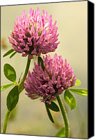 Ashland Canvas Prints - Clover Canvas Print by Amanda Kiplinger