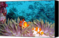 Thailand Canvas Prints - Clown Fishes Canvas Print by Takau99