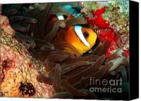 Amphiprion Bicinctus Canvas Prints - Clownfish in Hiding Canvas Print by Serena Bowles
