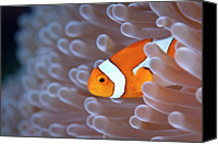 Fish Canvas Prints - Clownfish In White Anemone Canvas Print by Alastair Pollock Photography