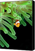 Reef Canvas Prints - Clownfish On Green Anemone Canvas Print by Alastair Pollock Photography