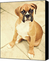 Innocence Canvas Prints - Clyde- Fawn Boxer Puppy Canvas Print by Jody Trappe Photography