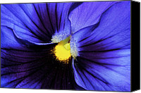 Phyllis Denton Canvas Prints - Cobalt Blue Pansy Canvas Print by Phyllis Denton