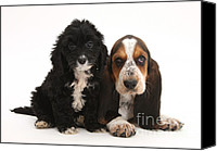 Hound Canvas Prints - Cockerpoo And Basset Hound Puppies Canvas Print by Mark Taylor