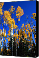 Yellow Trees Canvas Prints - Colorado Aspen Canvas Print by Dana Kern