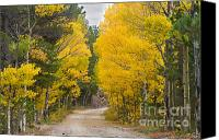 Scenic Roads Canvas Prints - Colorado Autumn Aspen Road Boulder County Canvas Print by James Bo Insogna