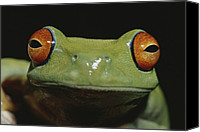 Red-eyed Frogs Canvas Prints - Colorful Close View Of Red-eyed Tree Canvas Print by Jason Edwards