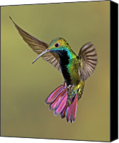 Wings Photo Canvas Prints - Colorful Humming Bird Canvas Print by Image by David G Hemmings