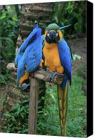 Adore Photo Canvas Prints - Colourful Macaw Pohakumoa Maui Hawaii Canvas Print by Sharon Mau