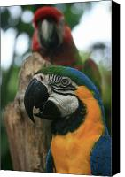 Adore Photo Canvas Prints - Colourful Macaw Canvas Print by Sharon Mau