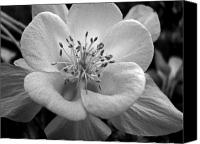 Amanda Barcon Canvas Prints - Columbine Canvas Print by Amanda Barcon