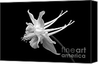 Wild-flower Canvas Prints - Columbine Flower Portrait Black and White Canvas Print by Jennie Marie Schell