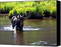 Moose In Water Canvas Prints - Coming Through Canvas Print by Jim Garrison