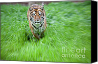 Bigcat Canvas Prints - Coming to get you Canvas Print by Keith Kapple