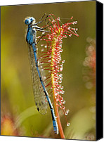 Bluet Canvas Prints - Common Blue Damselfly On A Sundew Leaf Canvas Print by Bob Gibbons