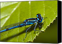 Bluet Canvas Prints - Common Blue Damselfly Canvas Print by Paul Harcourt Davies