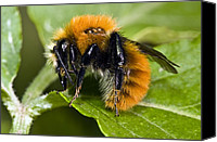 Bumblebees Canvas Prints - Common Carder Bumblebee Canvas Print by Paul Harcourt Davies