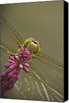 Jaws Canvas Prints - Common Darter Dragonfly Canvas Print by Andy Astbury