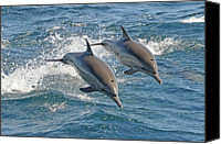 Dolphin Canvas Prints - Common Dolphins Leaping Canvas Print by Tim Melling
