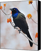 Singing Canvas Prints - Common Grackle Canvas Print by Tony Beck