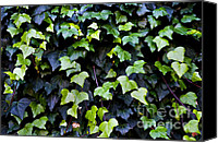 Invasive Canvas Prints - Common ivy Canvas Print by Fabrizio Troiani