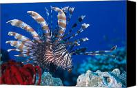 Lionfish Canvas Prints - Common Lionfish Canvas Print by Franco Banfi and Photo Researchers
