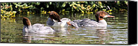 David Dunham Canvas Prints - Common Merganser - Yellowstone Park Canvas Print by David Dunham