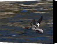 Pond Pastels Canvas Prints - Common Merganser Duck Canvas Print by Peter Gray