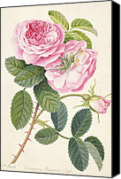 Grb Canvas Prints - Common Provence Rose Canvas Print by Georg Dionysius Ehret