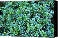 Blue Leaf Canvas Prints - Common Rue (ruta jackmans Blue) Canvas Print by Archie Young